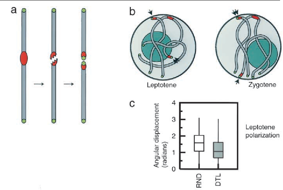 Telomeres act autonomously in maize to organize the meiotic bouquet figure 6 ccuart Gallery