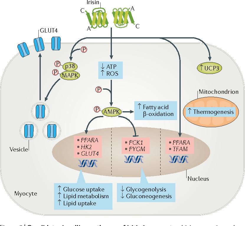 glucose homeostasis