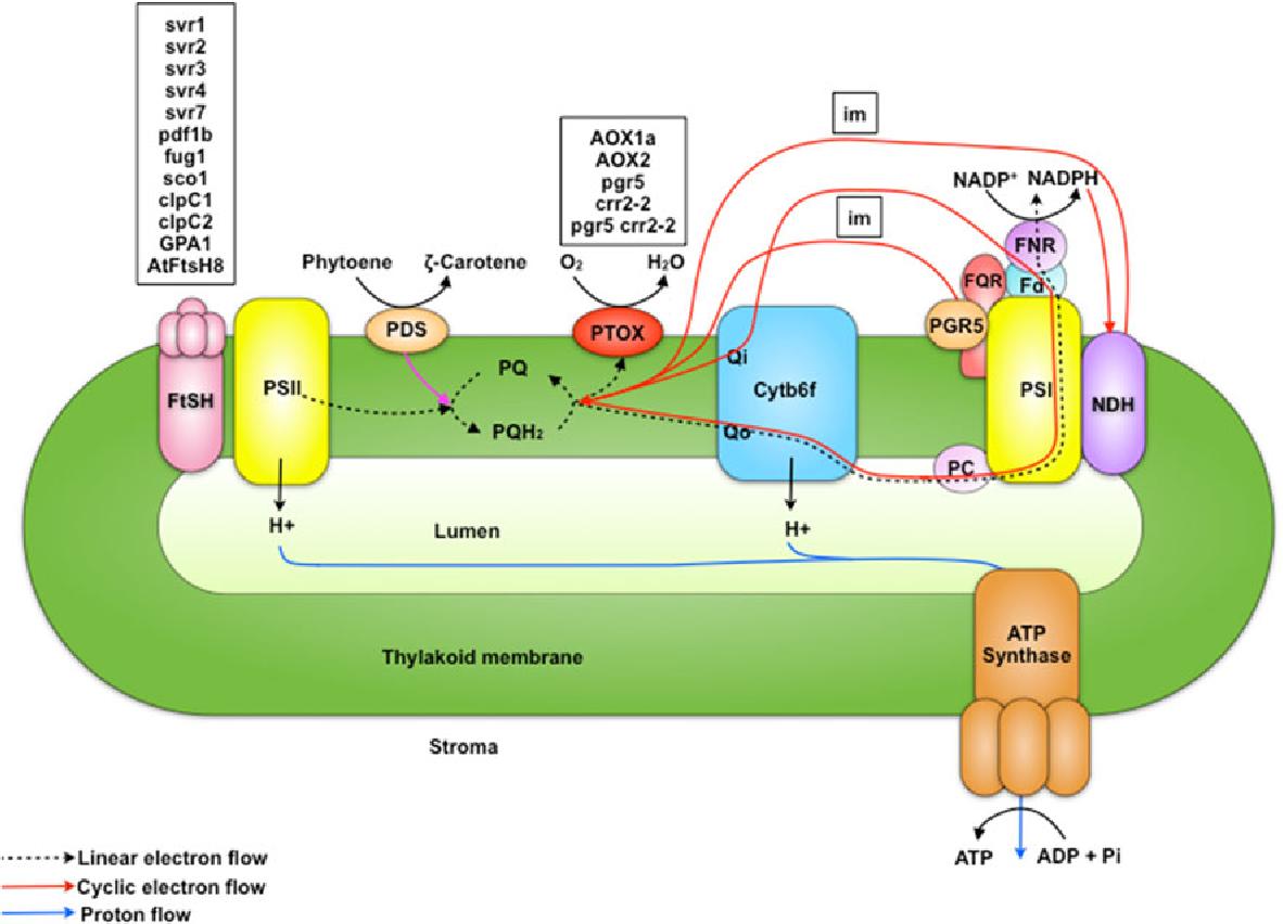 Understanding chloroplast biogenesis using second site suppressors figure 2 ccuart Images