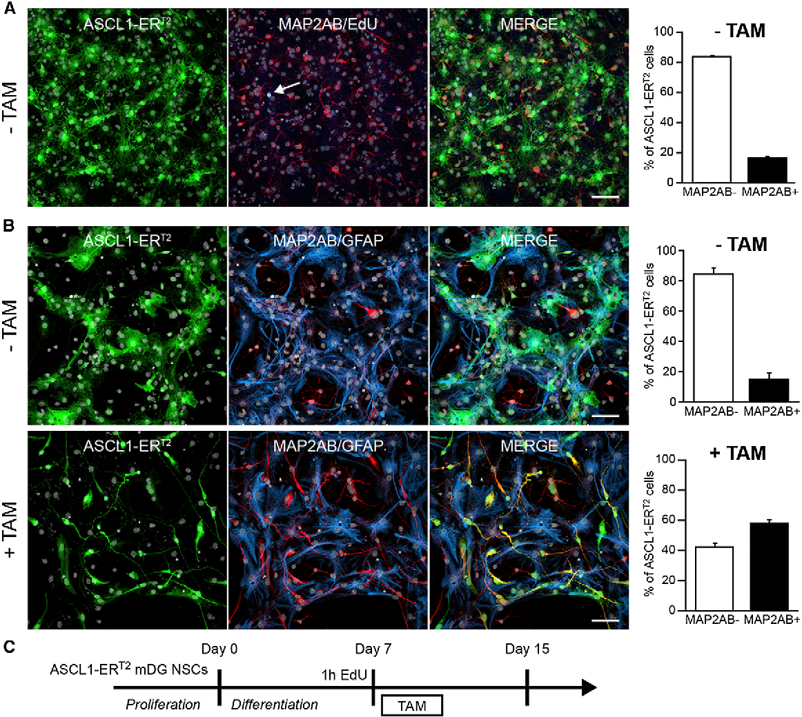 Figure 3. TAM Treatment Converts Astroglia toward a Neuronal Fate in Differentiated Ascl1-ERT2-Expressing NSPCs (A) Ascl1-ERT2-expressing cells were differentiated for 7 days in the absence of OH-TAM and mainly gave rise to MAP2AB-negative differentiated astroglia. Right bars show quantifications. Notably, virtually all of the NSPCs (>99.5%) are negative for EdU (blue), indicating that the cells have exited the cell cycle and become postmitotic. The arrow points toward one of the rare EdU-labeled cells (n = 3, biological replicates). (B) The vast majority of Ascl1-ERT2-expressing cells (green) continue to differentiate into glial cells expressing GFAP (blue) and are negative for MAP2AB (red) in the absence of OH-TAM. In striking contrast, OH-TAM exposure 7 days after initiation of differentiation results in a robust increase in MAP2AB-expressing, neuronally differentiated cells, suggesting that OH-TAM-induced ASCL1 activity is also sufficient to drive neuronal differentiation in NSPC-derived cells that have adopted an astroglial fate. Right bars show quantifications. TAM: 15.24% ± 4.84% neurons; +TAM: 57.80% ± 3.07% neurons; *p < 0.001; n = 3, biological replicates. (C) Experimental design of delayed OH-TAM treatment. Error bars represent mean ± SEM. Scale bars represent 40 mm. Nuclei were stained with DAPI (gray). See also Figure S3.