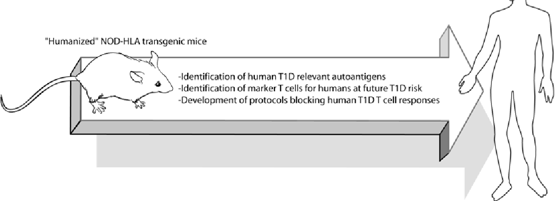 Fig. 1 Potential approaches for using HLA humanized NOD mice to initially develop clinically translatable approaches to block the development or activity of autoreactive T-cell populations contributing to T1D development in humans
