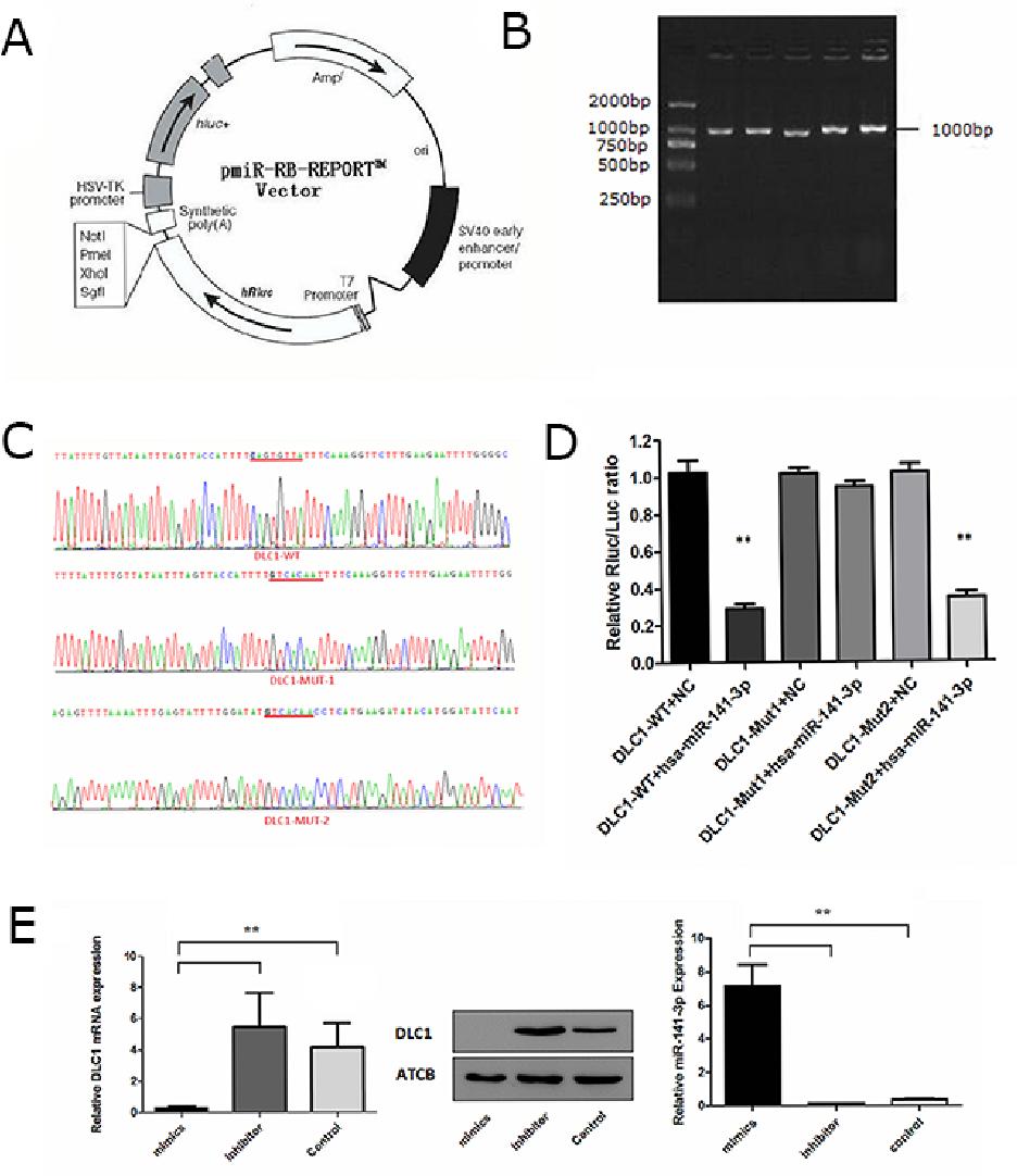 PDF] Exosomal miR-141-3p regulates osteoblast activity to promote