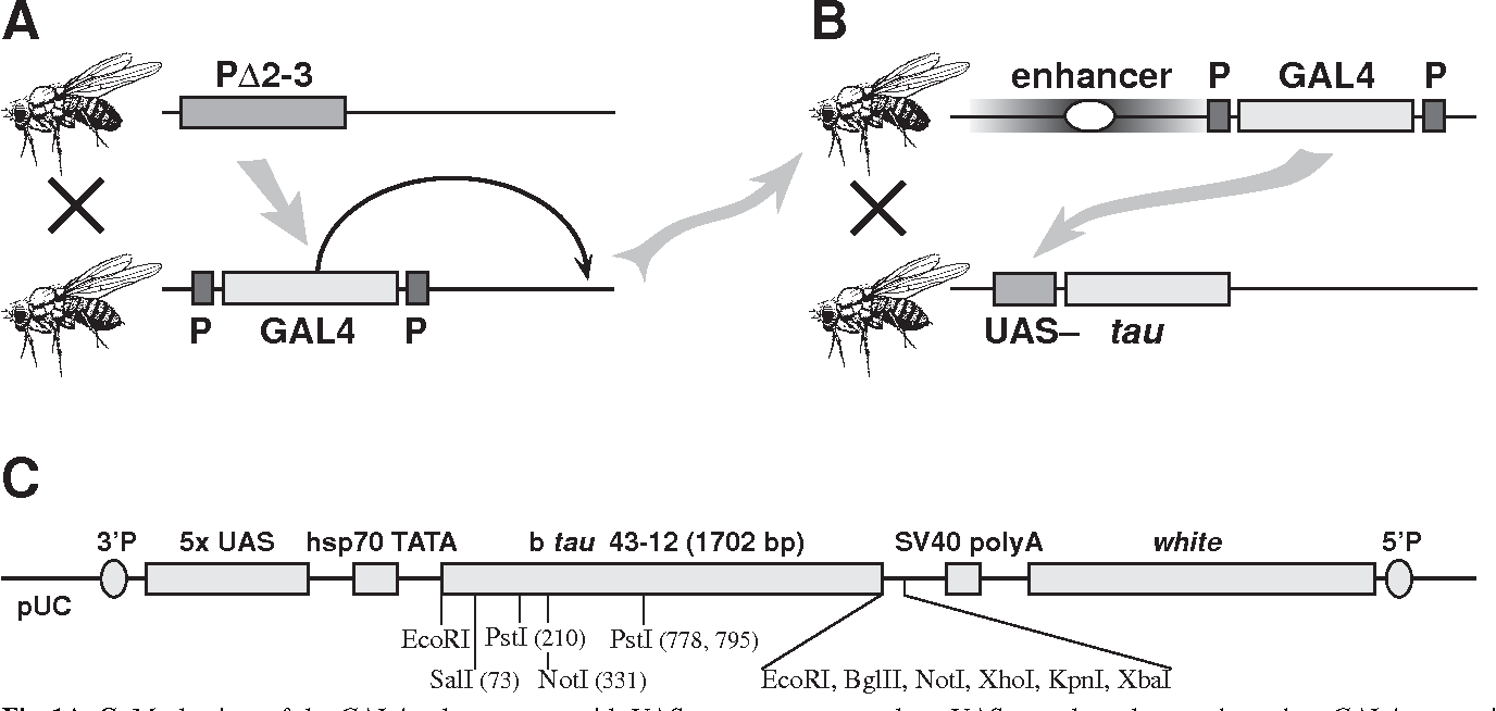 GAL4-responsive UAS-tau as a tool for studying the anatomy and ...