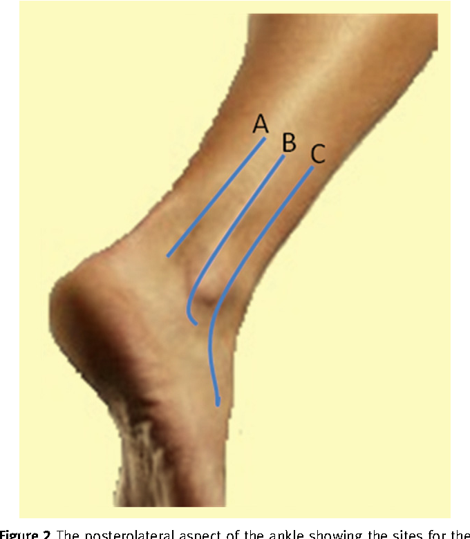 Figure 2 From The Foot And Ankle Vi Anatomy And Biomechanics Of
