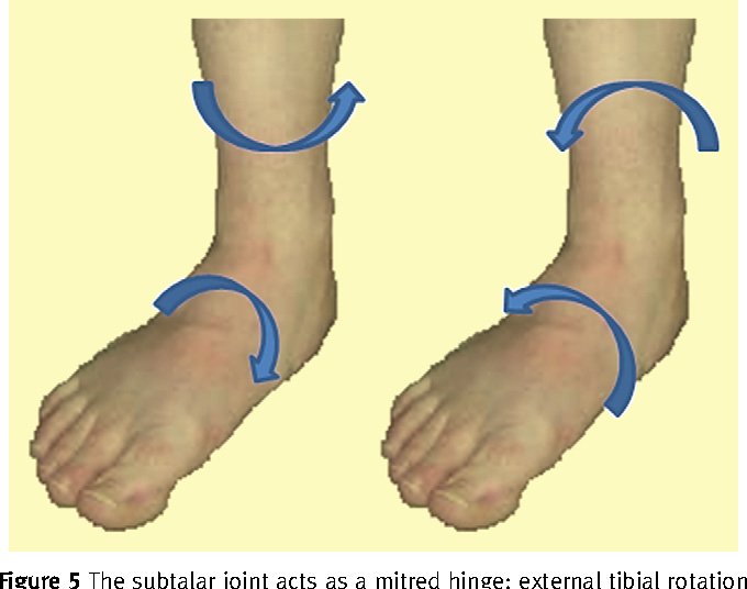 Figure 5 From The Foot And Ankle Vi Anatomy And Biomechanics Of