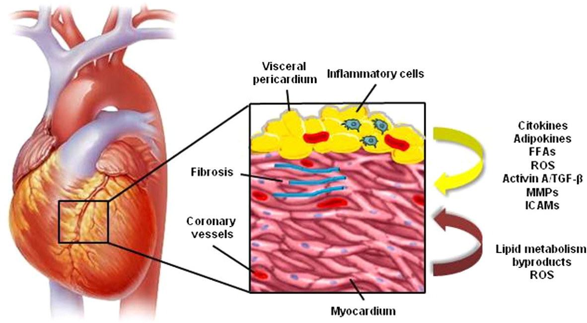 Epicardial adipose tissue: at the heart of the obesity complications ...
