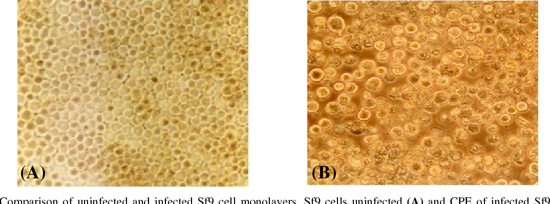Figure 4 from Cloning and Expression of Simian Rotavirus