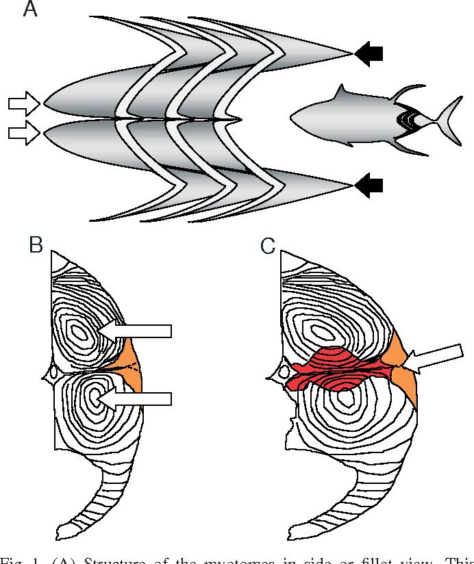 Figure 3 From Design Of Heterothermic Muscle In Fish Semantic Scholar