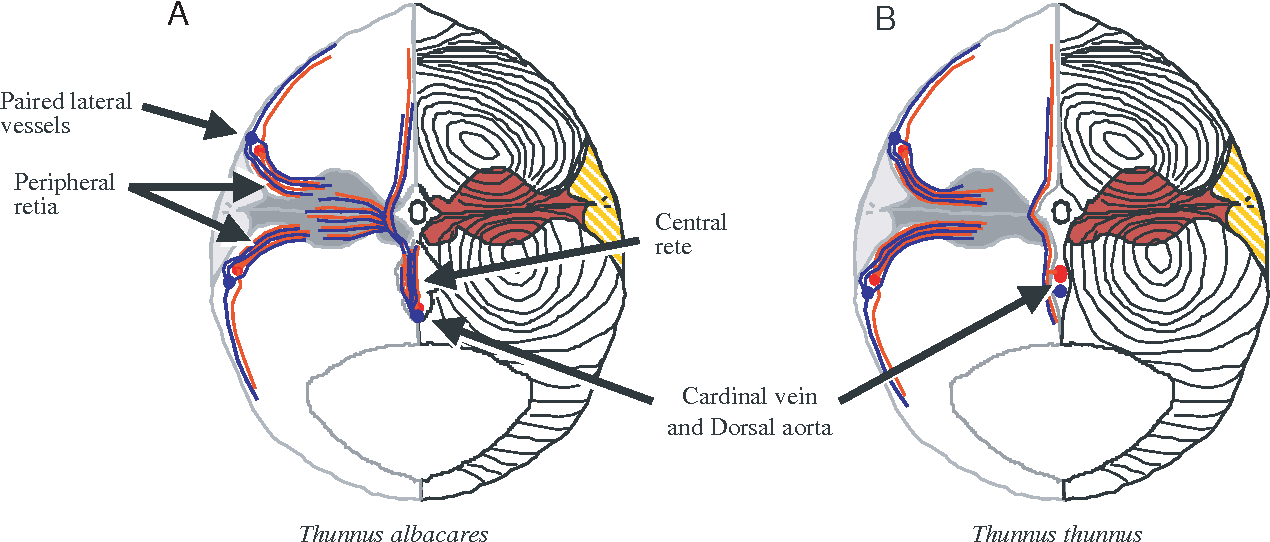 Figure 3 from Design of heterothermic muscle in fish. - Semantic Scholar