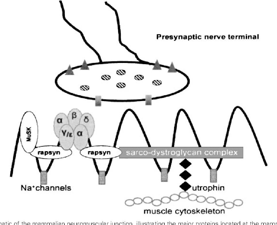 Figure 1 from Pathophysiology of myasthenia gravis. - Semantic Scholar