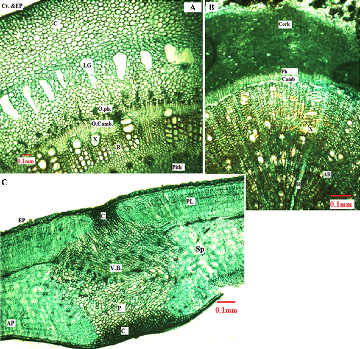 Figure 4 from The biology of Calotropis procera (Aiton) W T