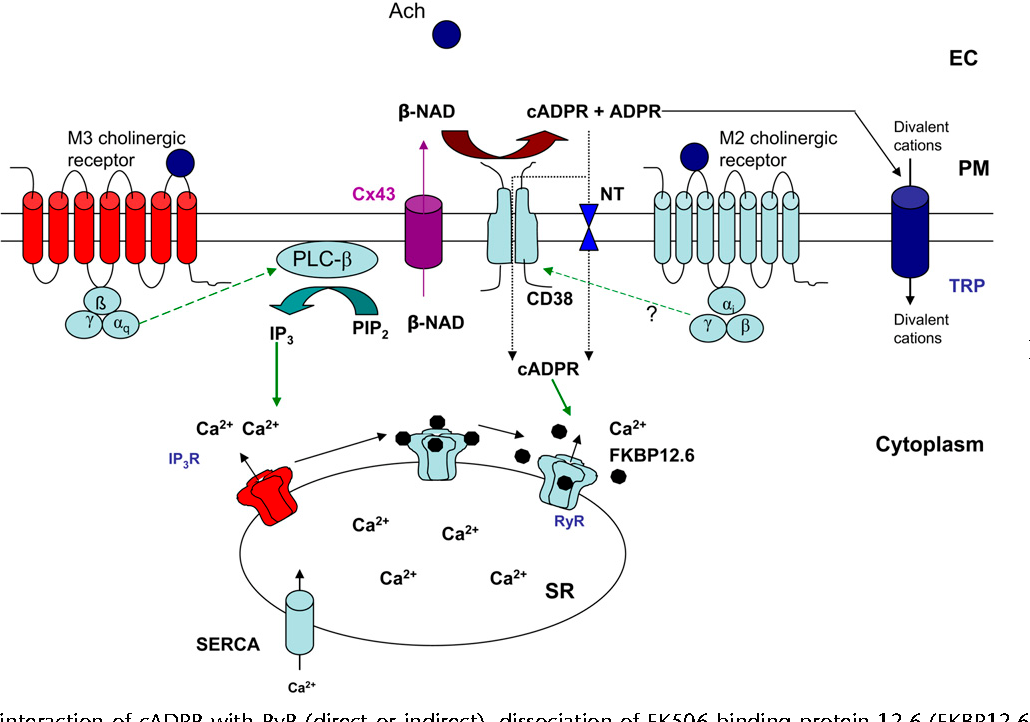 calcium signaling in airway smooth muscle cells wang yong xiao