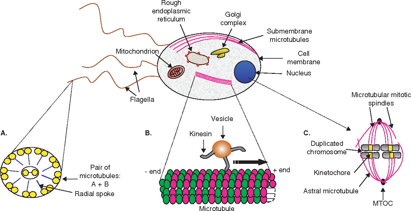 3 Figure1 1 figure 1 from microtubules as antiparasitic drug targets semantic