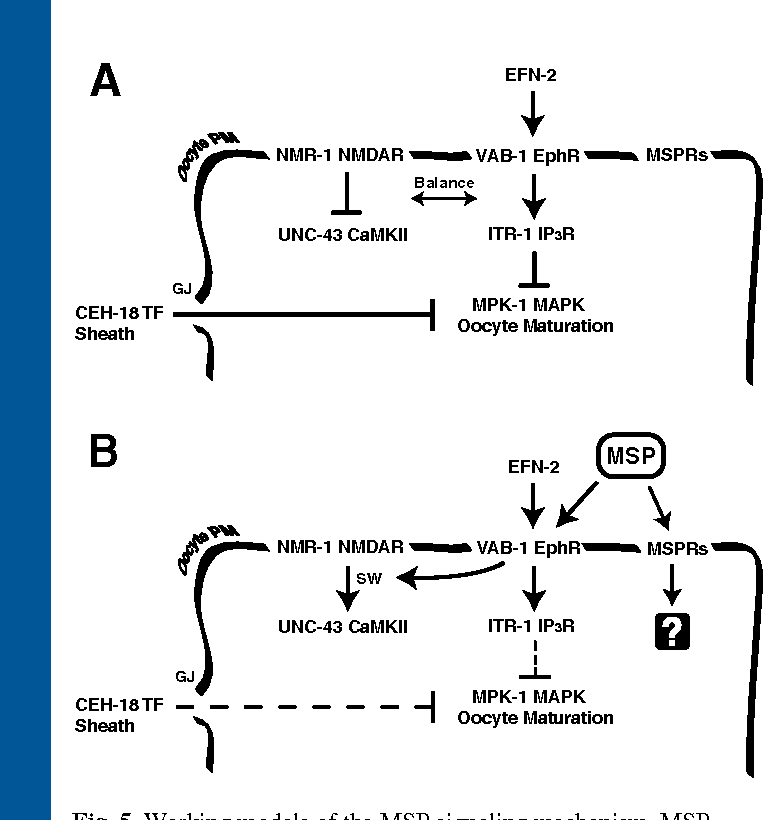 Fig. 5. Working models of the MSP signaling mechanism. MSP binds to multiple receptors on the oocyte plasma membrane (PM), including the VAB-1 Eph receptor. (A) When extracellular MSP is scarce or absent, ephrin/VAB-1- and CEH-18-dependent pathways negatively regulate MPK-1 MAPK activation and oocyte maturation. The ITR-1 IP3 receptor acts downstream of VAB-1, while the NMR1 NMDA-receptor subunit prevents activation of UNC-43 CaMKII. (B) MSP binding to VAB-1 triggers a switch (SW) from negative to positive regulation. As a result, NMR-1 stimulates UNC-43 T284 phosphorylation and signaling at the oocyte cortex. MSP also binds to unidentified MSP receptors (MSPRs) that act redundantly to promote oocyte maturation. MSPRs could function in oocytes (shown), sheath cells or both. Broken lines indicate downregulated pathways. See text for details. Models are based on results from this study and previous studies. SW, switch; GJ, gap junction; TF, transcription factor; IP3R, inositol triphosphate receptor.