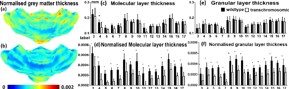 Figure 4 for Grey matter sublayer thickness estimation in themouse cerebellum