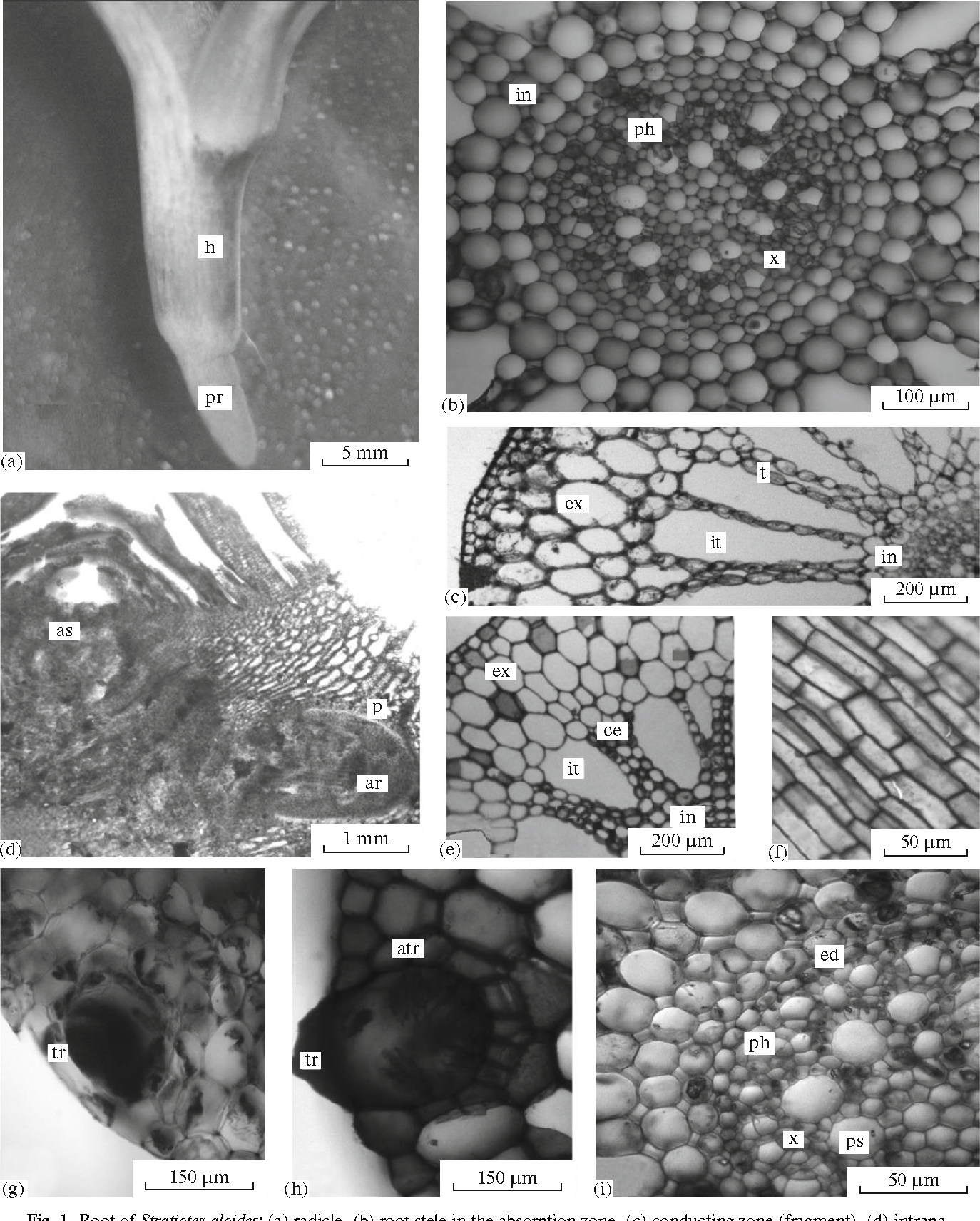 Anatomy And Morphology Of Vegetative Organs And Inflorescence Of