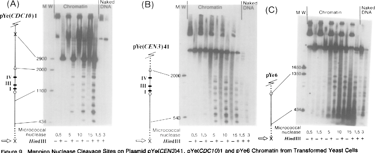 Figure 9. Mapping Nuclease Cleavage Sites on Plasmid pYe(CEiV3)41, pYe(CDCfO)l and pYe6 Chromatin from Transformed Yeast Cells