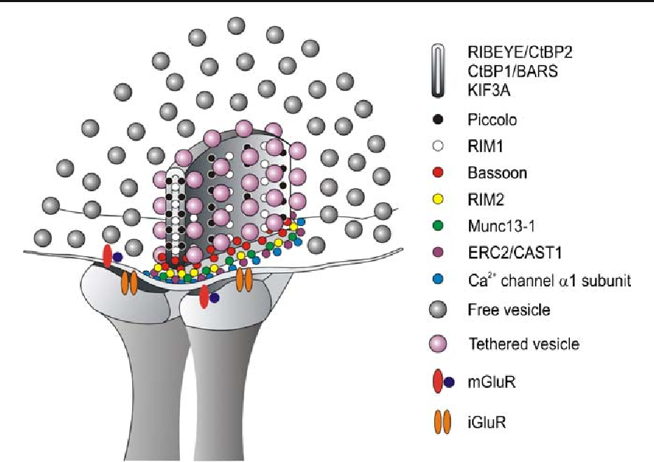 Ribbon synapses of the retina - Semantic Scholar