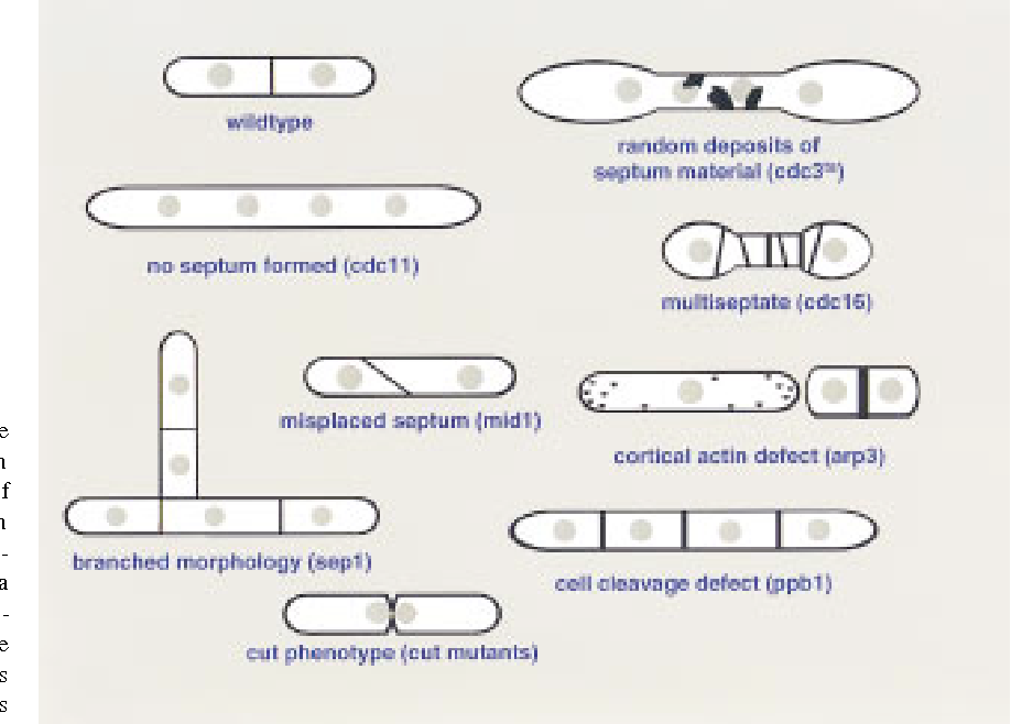 Figure 2 From The Control Of Septum Formation In Fission Yeast