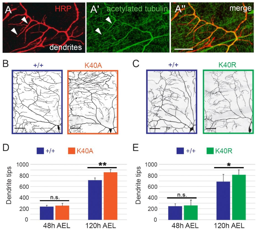 Fig. 3. Sensory dendrite tip number is increased in Tub84B K40 mutant neurons. (A) In class IV da neuron dendrites, acetylated microtubules are present in main dendrite branches and some terminal dendrites (arrowheads). Red: HRP, neuronal