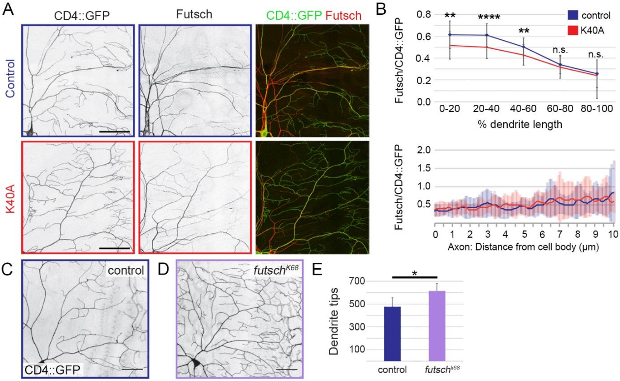 Fig. 6. Futsch levels are decreased in Tub84B K40A mutant dendrites. (A) Representative images of a quadrant of da neuron dendrite arbors immunostained for CD4::GFP (left panel, green) and Futsch (middle panel, red). Top row: wild-type control, bottom row: Tub84BK40A. Scale bar: 50 µm. (B) Quantification of Futsch levels in wildtype control and Tub84BK40A neurons (mean ± SD). Futsch levels measured along a