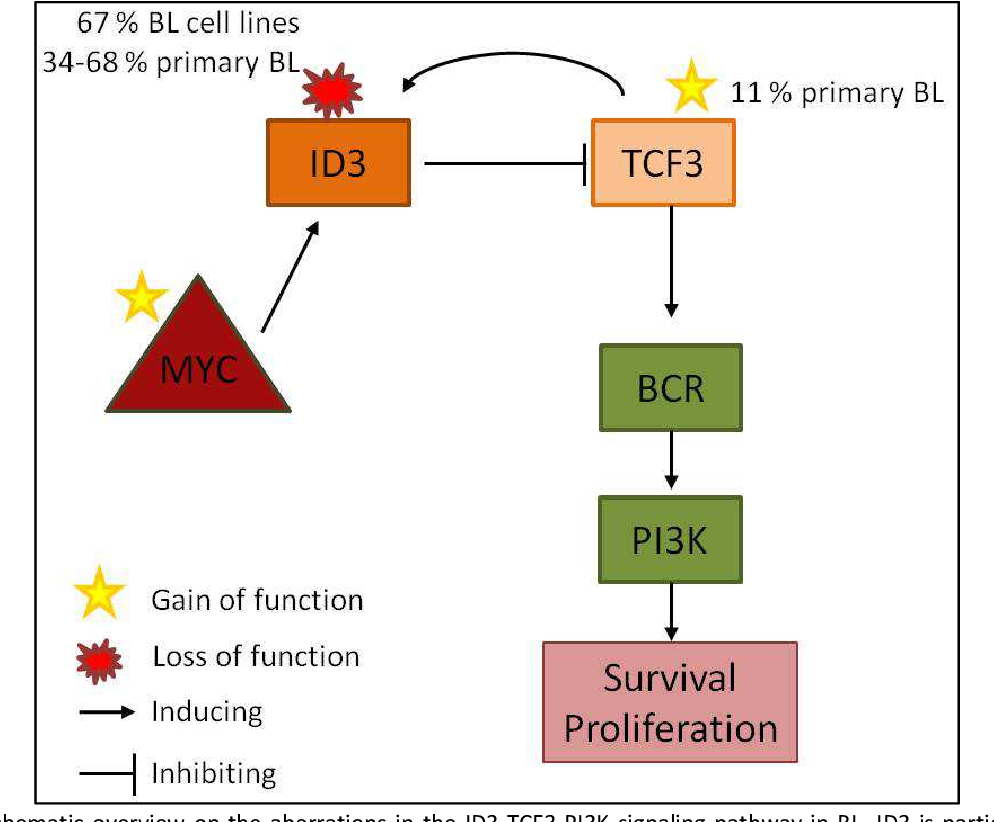 Figure 40: Schematic overview on the aberrations in the ID3-TCF3-PI3K signaling pathway in BL. ID3 is particularly highly expressed in BL which is likely induced by the high MYC oncogene expression in BL. Two mutational events lead to an increase of TCF3 activity: (i) inactivating mutations of ID3 as detected in 34-68 % of primary BL and 67 % of BL cell lines ablate its negative control of TCF3 and (ii) activating TCF3 mutations were detected in 11 % of primary BL [72]. Higher activity of TCF3 augments BCR signaling which subsequently enforces PI3K signaling, leading to increased survival and proliferation of the BL cells. Adapted from Ott et al. [71].