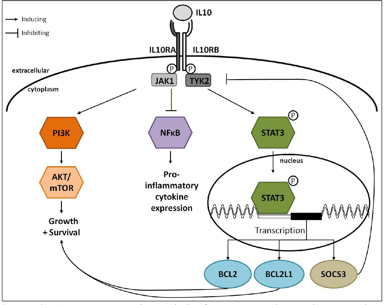 Figure 46: Schematic overview on IL10 signaling. Upon binding of IL10 to its receptor, the tyrosine kinases JAK1 and TYK2 become phosphorylated and activate STAT3, which translocates into the nucleus where it induces the expression of several genes including the anti-apoptotic genes BCL2 and BCL2L1 as well as SOCS3 which is a negative regulator of the IL10 signaling. IL10 signaling inhibits NFκB leading subsequently to downregulation of pro-inflammatory cytokines. Furthermore, the PI3K-Akt pathway becomes activated inducing the growth and survival of the cells.