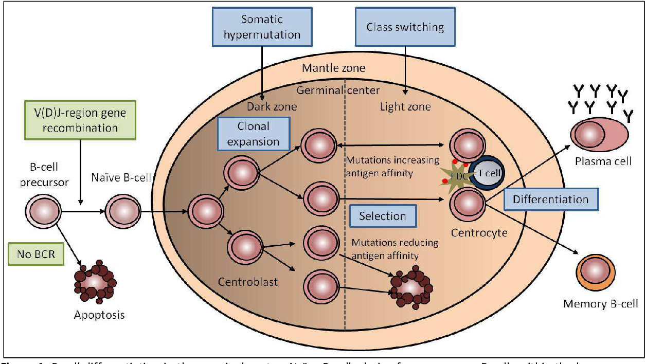 Figure 1: B-cell differentiation in the germinal center. Naïve B-cells derive from precursor B-cells within the bone marrow where the immunoglobulin gene has undergone V(D)J rearrangement and a functional IgM surface protein is expressed. Upon encounter with an antigen, the naïve B-cells enter the germinal center where they undergo clonal expansion. During this time the immunoglobulin V genes of the now called centroblasts accumulate mutations induced by the somatic hypermutation machinery which contribute to the increase of the antigen-specificity. The cells now enter the light zone, where they are called centrocytes. At this stage, they become selected for a high affinity to the antigen. Only those cells with a high affinity do either reenter the dark zone for some additional rounds of clonal expansion or differentiate into antibody secreting plasma cells or memory B-cells. The BCR of centrocytes which have a low antigen-affinity undergo apoptosis. A further mechanism which increases the affinity of the immunoglobulin is the class switching which takes place in the light zone. Modified from [4].