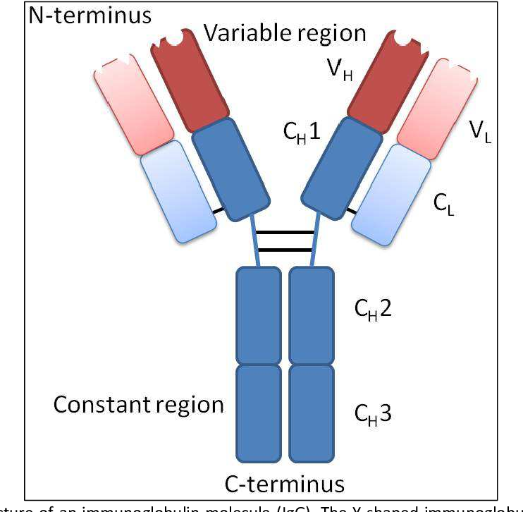 Figure 2: Exemplary structure of an immunoglobulin molecule (IgG). The Y-shaped immunoglobulin consists of two heavy chains and two light chains, the latter are indicated by the lighter color. The heavy and the light chains are made of four and two immunoglobulin domains, respectively. The variable domains of the light chain (VL) and of the heavy chain (VH) make up the variable region, whereas the constant domains of the heavy chain (CH1-3) and light chain (CL) make up the constant region. Modified from [39].