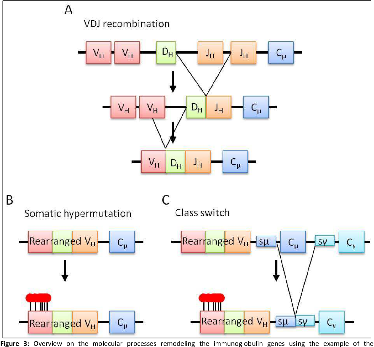 Figure 3: Overview on the molecular processes remodeling the immunoglobulin genes using the example of the immunoglobulin heavy chain (IGH) locus. A: Depicted is the schematic overview on the VDJ recombination. Initially the D gene segment is joined randomly to one of the J gene segments. In a next step one of the V gene segments is joined to the DJ segment. B: After VDJ recombination and after encounter of an antigen, the somatic hypermutation machinery is activated in the germinal center. This leads to the introduction of mutations at a high rate in the V region of the heavy and the light chain (indicated by the lollipops). C: The final step in the affinity maturation of the immunoglobulin genes is the class switch which only occurs on the heavy chain locus. This mechanism is based on a type of non-homologous end joining between the so called switch regions (here shown for sμ and sγ). These lie adjacent to each C gene segment and direct the class switch. Modified from [4].
