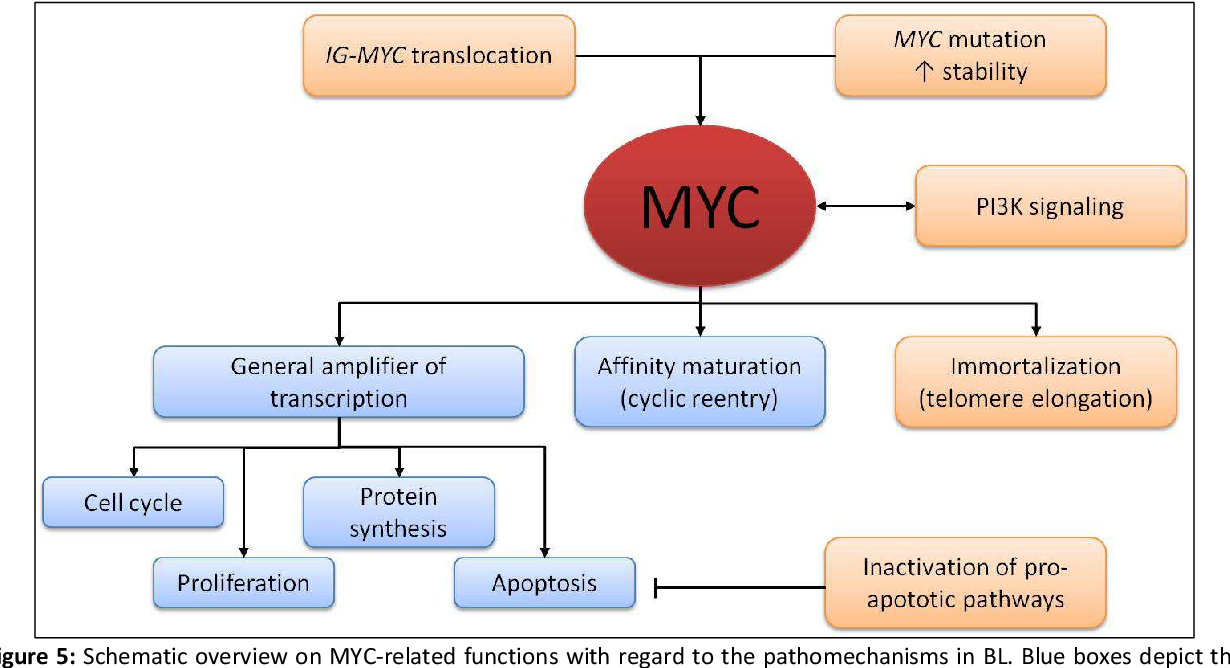 Figure 5: Schematic overview on MYC-related functions with regard to the pathomechanisms in BL. Blue boxes depict the physiological functions of MYC as general amplifier of transcription inducing cell cycle, proliferation, protein synthesis and apoptosis, as well as its role in the cyclic reentry in the germinal centre during affinity maturation. Alterations and pathomechanisms related to BL with regard to MYC are depicted by orange boxes.