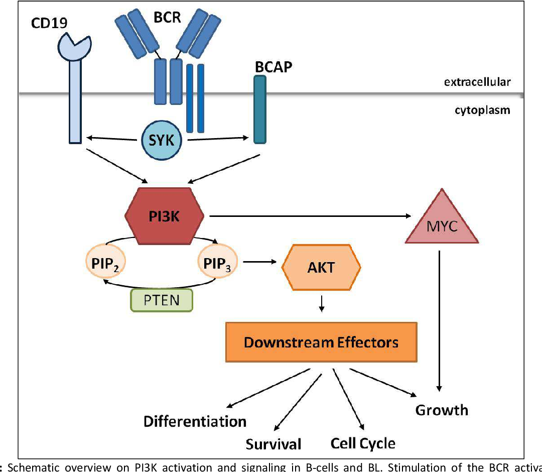 Figure 6: Schematic overview on PI3K activation and signaling in B-cells and BL. Stimulation of the BCR activates PI3K signaling via CD19 and BCAP. Active PI3K synthesizes PIP3 which supports the recruitment of effector proteins to PI3K including Akt. In this manner, Akt becomes activated and induces several downstream effectors mediating differentiation, cell cycle and growth as well as the inactivation of anti-proliferative proteins and, thus, supports the survival. A counteractor of PI3K is PTEN, which dephosphorylates PIP3 to PIP2. Furthermore, PI3K signaling has been shown to stabilize the MYC protein, thus, promoting its tumorigenic effect. Modified from [158].