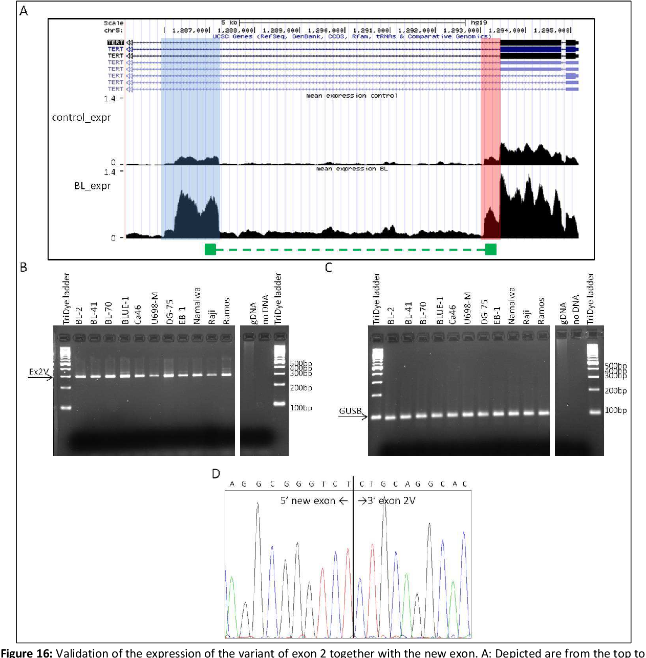 Figure 16: Validation of the expression of the variant of exon 2 together with the new exon. A: Depicted are from the top to the bottom: scale bar in kb, genome base position in bp, the UCSC gene track showing all transcripts of the TERT gene (reading direction from the right (exon 1) to the left), and the mean read density obtained in the ICGC MMML-Seq project given as reads per million of the transcriptome data of all analyzed GCB-cell samples (control_expr) and BL samples (BL_expr) as well as a schematic overview on the location of the PCR product with regard to the TERT gene. In latter track the green symbol represents the PCR product (296 bp) detecting expression of exon 2V together with the new exon. Highlighted in blue is the newly identified exon and highlighted in red is 3'end of exon 2V which is visible in the ICGC MMML-Seq samples but is not annotated yet in the UCSC gene track. B: Agarose gel analysis depicts expression of the exon 2V together with the new exon performed on eleven BL cell lines. C: Agarose gel analysis of the reference gene GUSB (99 bp PCR product) in the BL cell lines. D: Electropherogram showing exon borders of the 5' end of the new exon and 3' end of exon 2V. Genomic DNA (gDNA) and water (no DNA) were used as negative controls. The arrows indicate the band corresponding to the respective size of the PCR products.