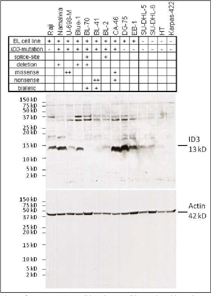 Figure 20: Western blot analyses of ID3 protein in B-cell lymphoma cell lines. The table at the top summarizes the mutation status of each cell line (+, one mutation, ++ two mutations) Depicted are the Immunoblots for the ID3 protein (13 kD) and the reference protein Actin (42 kD). Adapted from Richter et al. [170]. Although the ID3 antibody detected additional unspecific bands, it was determined as the best available antibody after screening of various commercially, available ID3 antibodies.