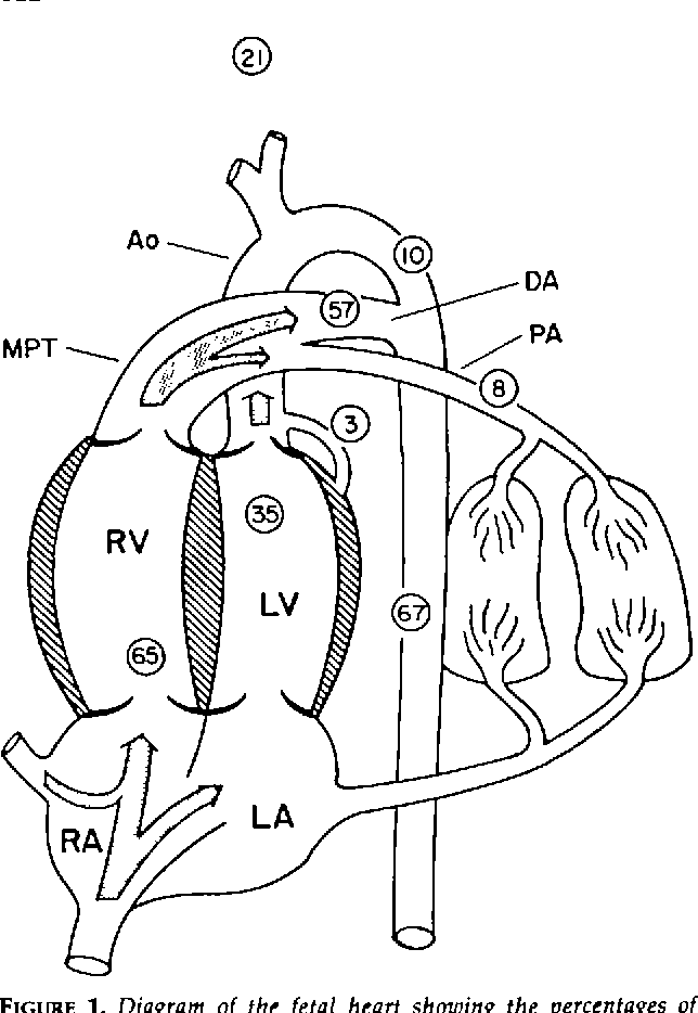 Figure 1 From Distribution And Regulation Of Blood Flow In The Fetal