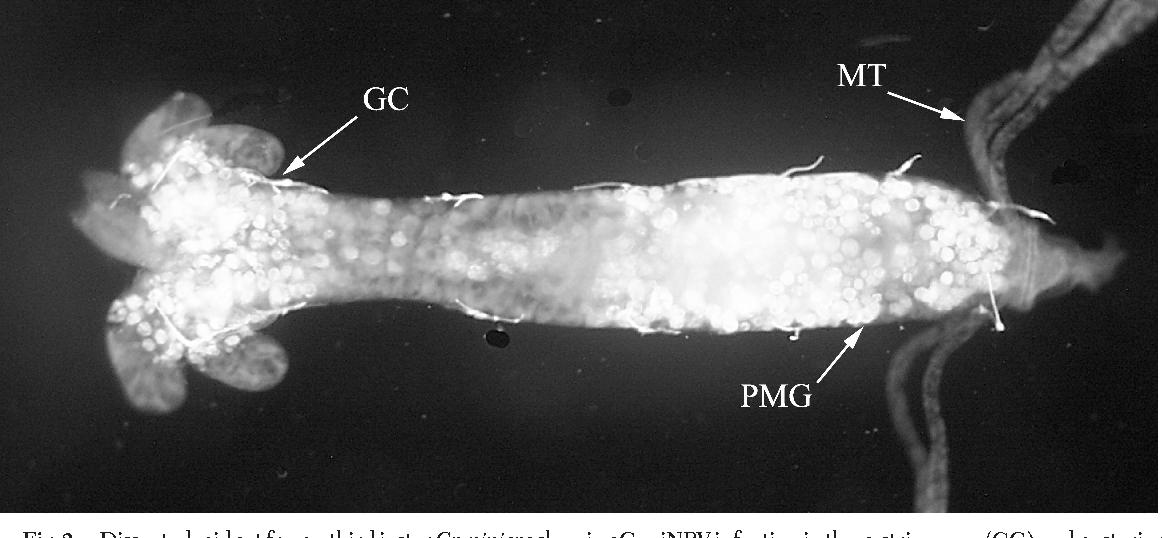 Culex nigripalpus nucleopolyhedrovirus - Semantic Scholar