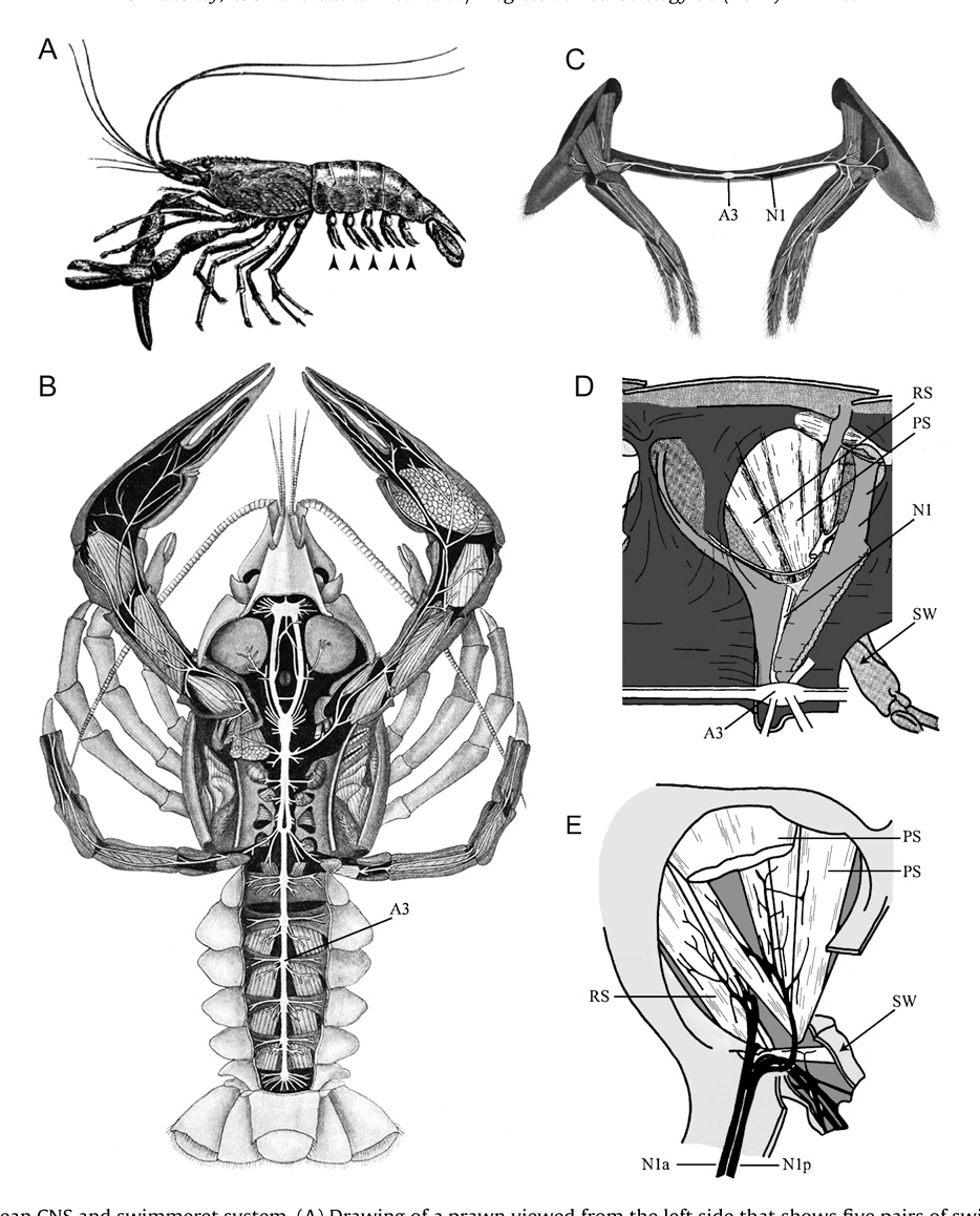 Figure 1 from neurobiology of the crustacean swimmeret system anatomy of the crustacean cns and swimmeret system a ccuart Gallery
