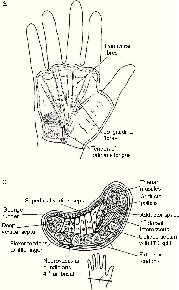 Figure 2 From Clinical Anatomy Of The Hand Semantic Scholar
