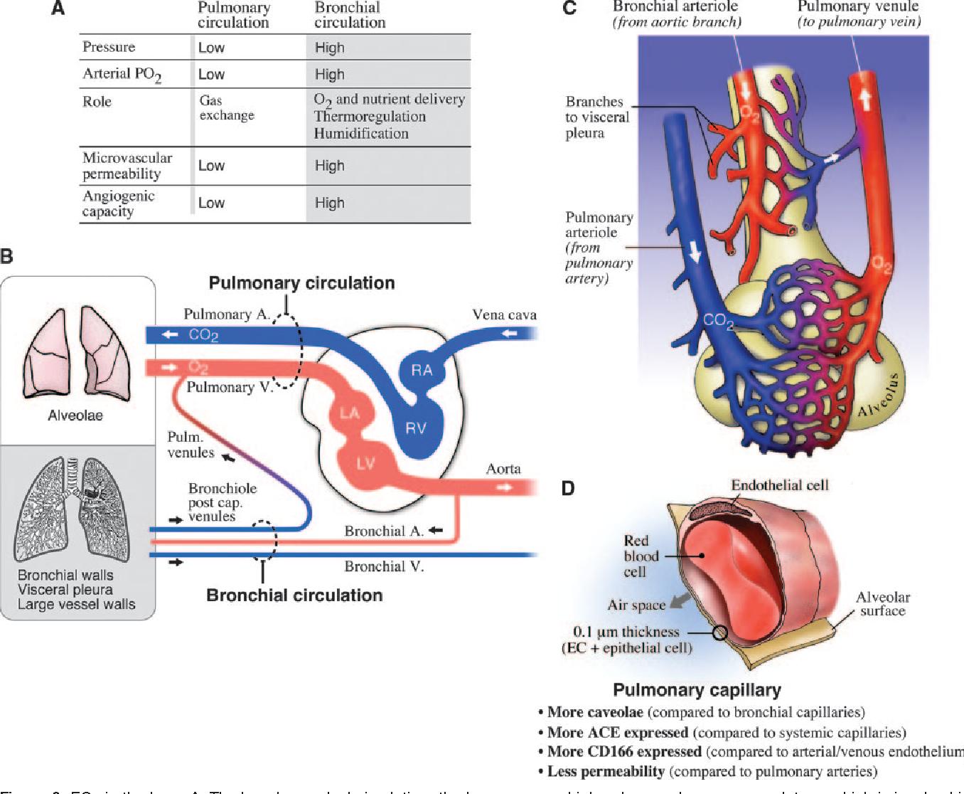 Figure 3 from Phenotypic heterogeneity of the endothelium: II ...