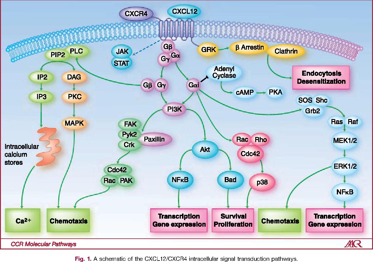 Risultati immagini per molecule CXCL12