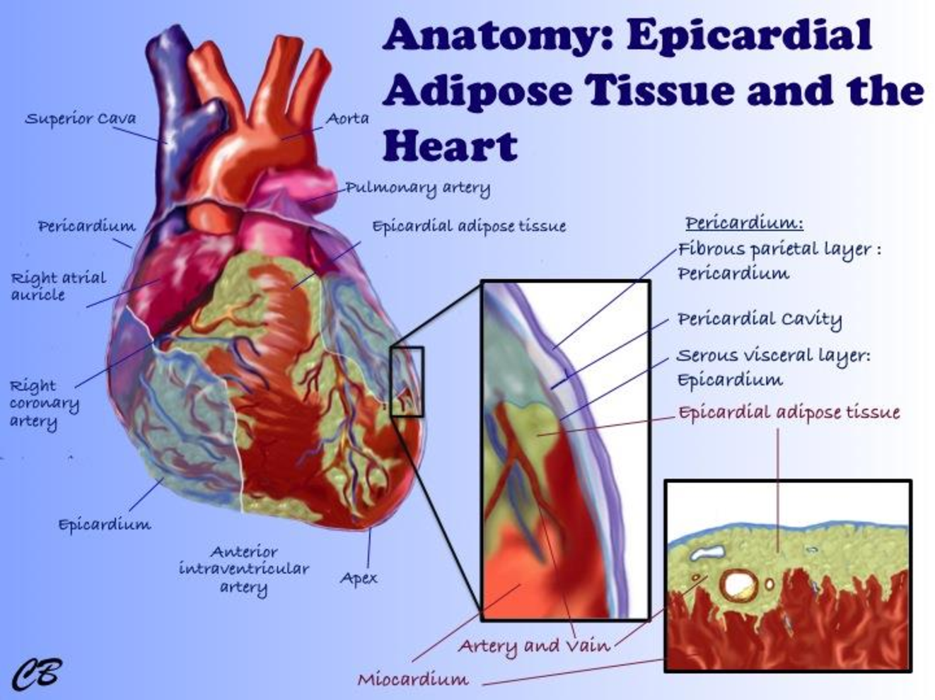 Characterisation of epicardial adipose tissue and myocardial fat ...