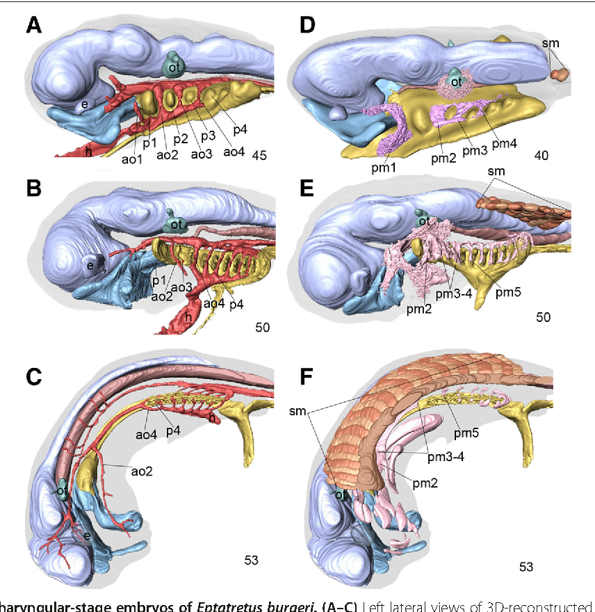 On The Peculiar Morphology And Development Of The Hypoglossal