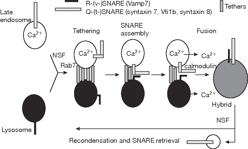 Figure 2 From Membrane Traffic To And From Lysosomes Semantic Scholar