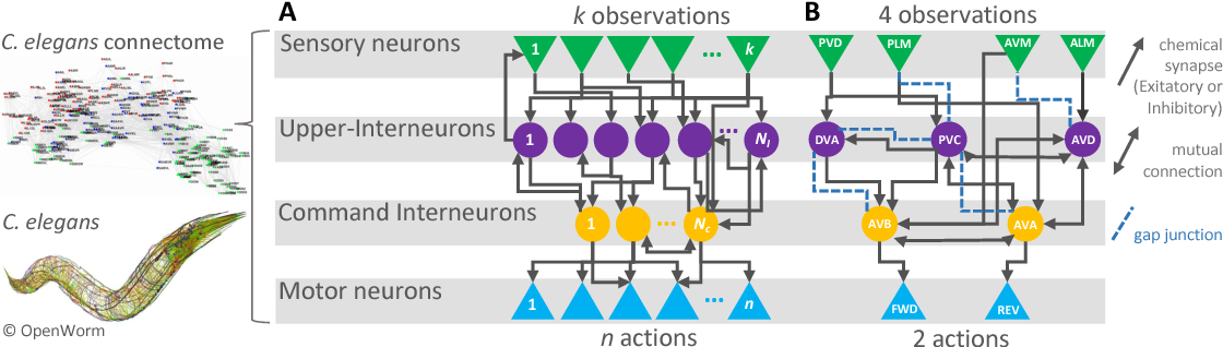 Figure 1 for Re-purposing Compact Neuronal Circuit Policies to Govern Reinforcement Learning Tasks