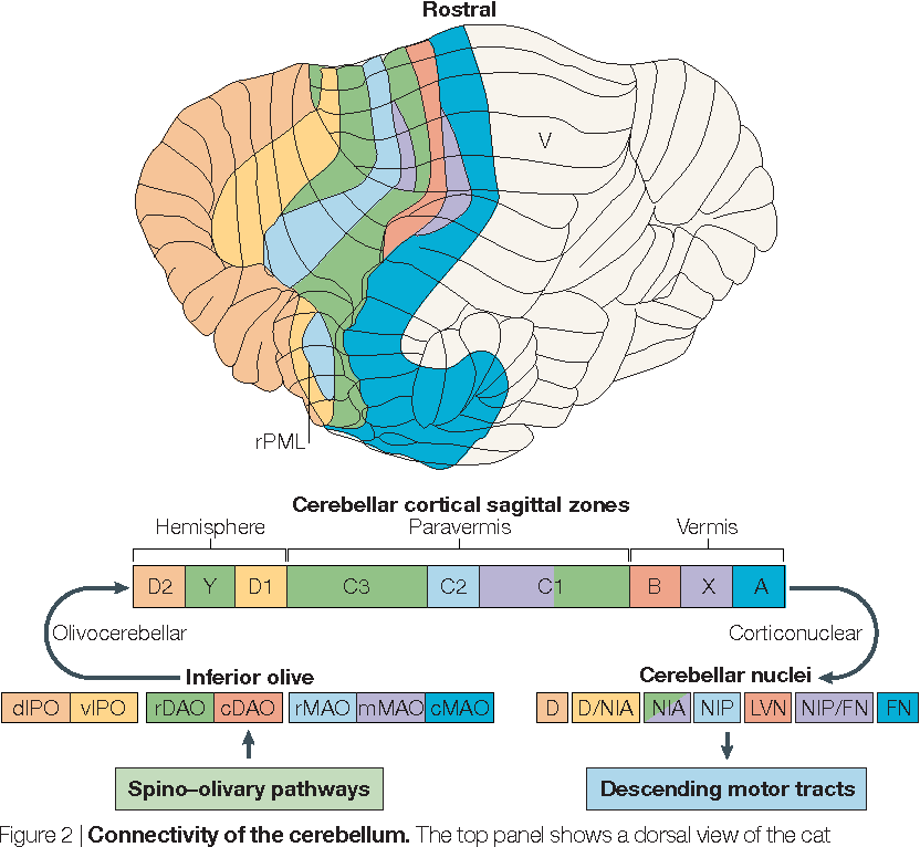 Anatomical and physiological foundations of cerebellar information ...