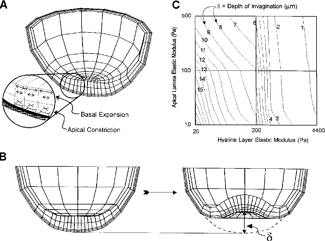 How do sea urchins invaginate using biomechanics to distinguish figure 3 pooptronica Image collections