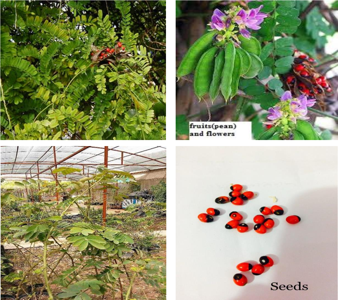 Figure 1 From Phytochemical Investigations Of Iraqi Abrus