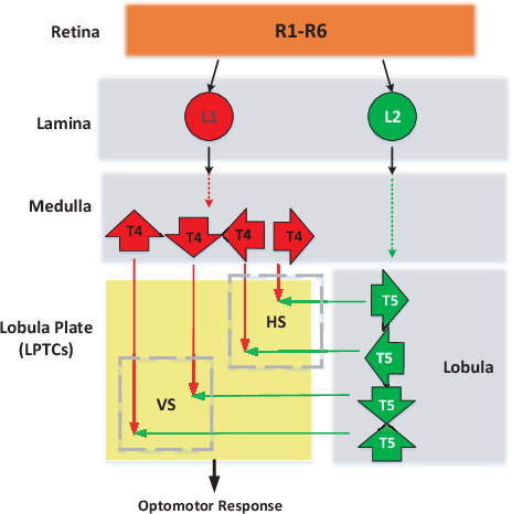 Figure 1 for A Directionally Selective Neural Network with Separated ON and OFF Pathways for Translational Motion Perception in a Visually Cluttered Environment