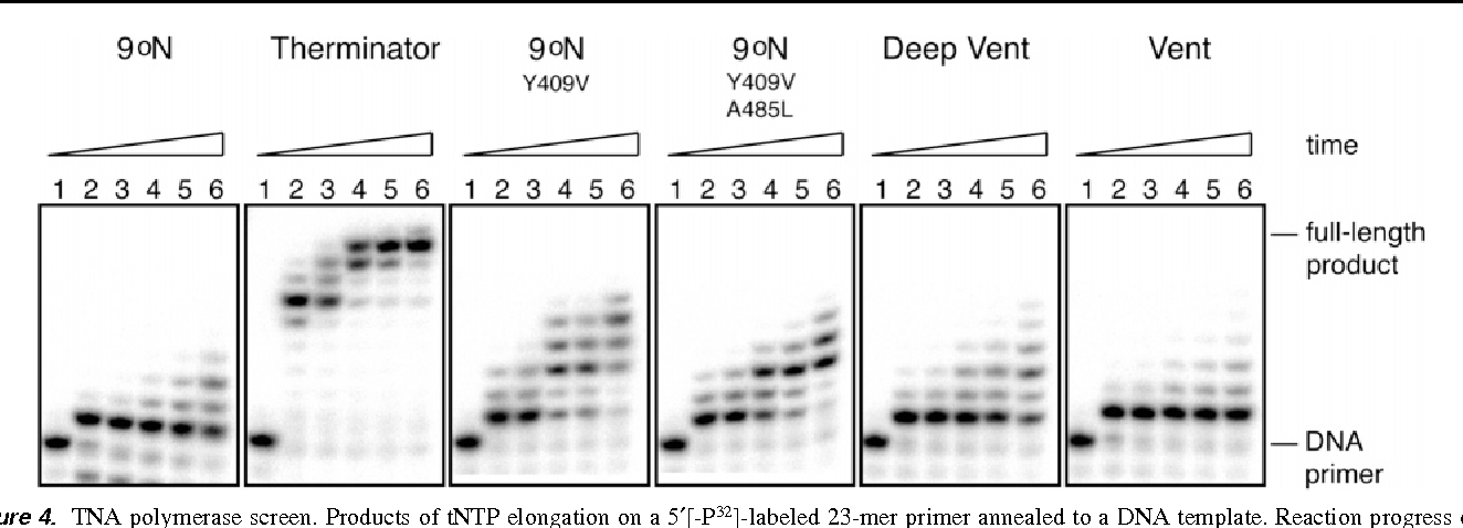 Figure 4. TNA polymerase screen. Products of tNTP elongation on a 5′[-P32]-labeled 23-mer primer annealed to a DNA template. Reaction progress over time was analyzed by denaturing polyacrylamide gel electrophoresis for experiments using exonuclease deficient family B DNA polymerases: 9°N, Therminator, 9°N single mutant Y409V, 9°N double mutant Y409V and A485L, Deep Vent, and Vent. Time points were taken for each polymerase reaction at 0 (no enzyme), 15, 30, 90, 150, and 300 min, lanes 1-6, respectively.