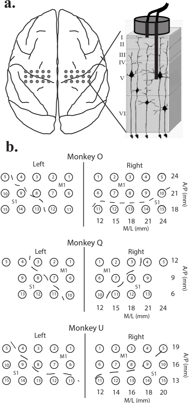 Figure 2.1 Cortical implant schematic. a) Top-down view of macque brain. Grey circles indicate relative position of implanted dual electrode shown in cross-section to the right. Each dual electrode consisted of an intracortical lead which penetrated to ~ layer 5 and a surface lead. b) Electrode numbering and real-world stereotaxic coordinates for each animal. Dotted line marks the position of the central suclus as determined by median nerve stimulation.